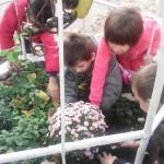 Засаждане на хризантеми